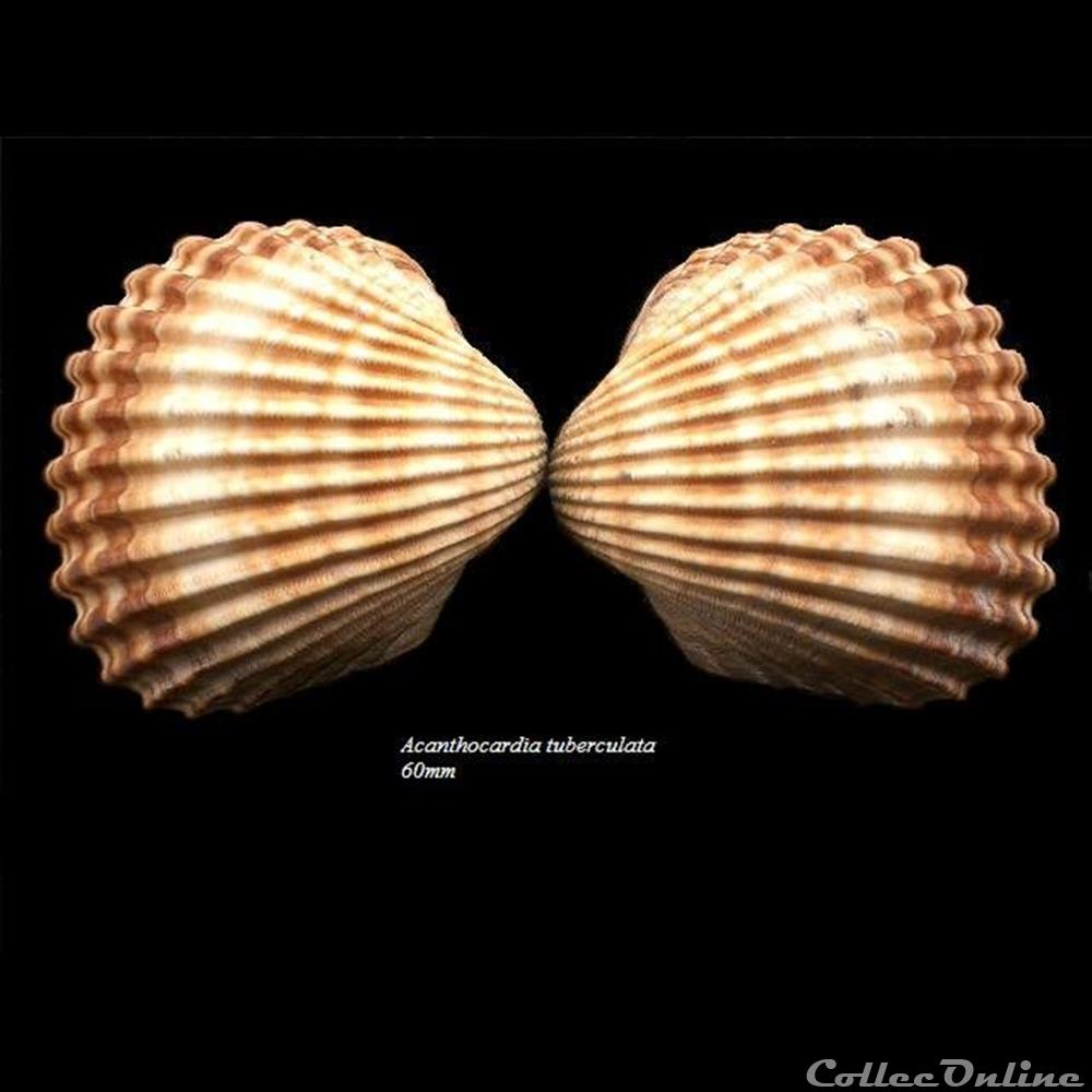 coquillage fossile bivalvium acanthocardia tuberculata 60mm