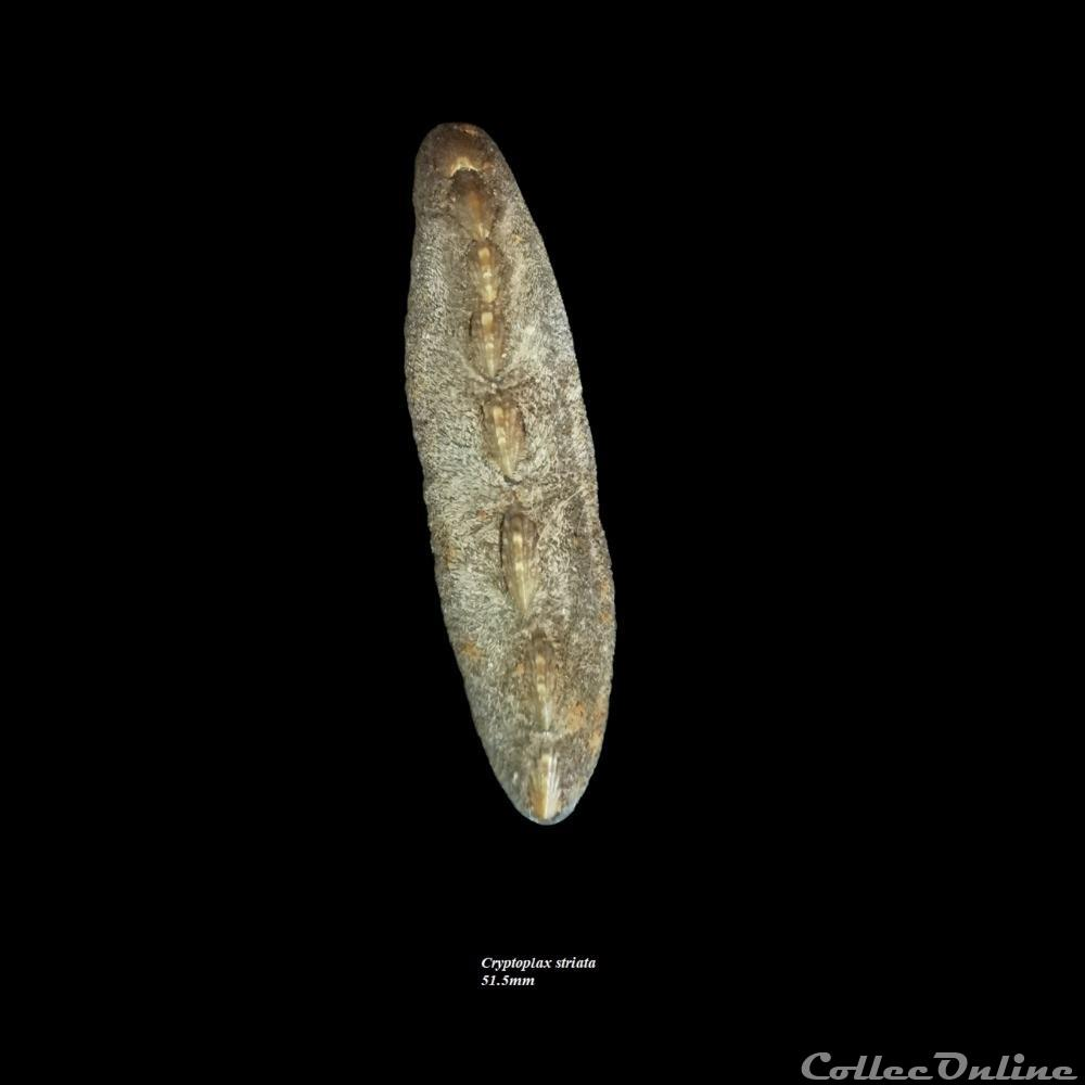 coquillage fossile polyplacophora cryptoplax striata 51 5mm