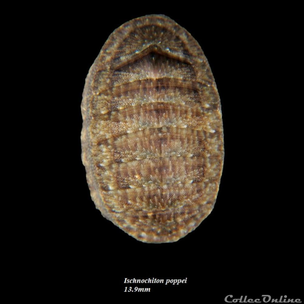 coquillage fossile polyplacophora ischnochiton poppei 13 9mm