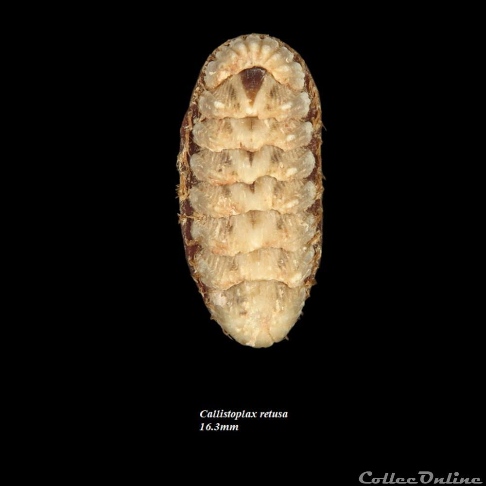 coquillage fossile polyplacophora callistoplax retusa 16 3mm