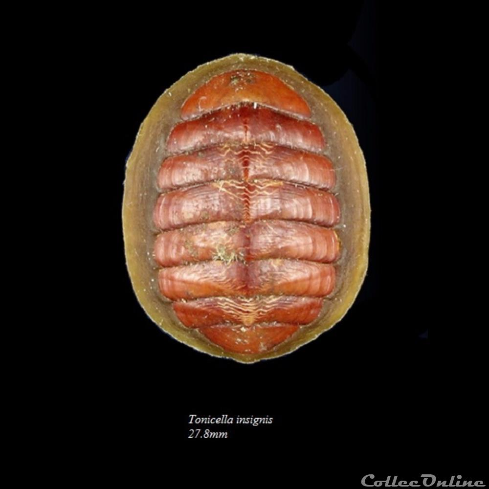 coquillage fossile polyplacophora tonicella insignis 27 8mm