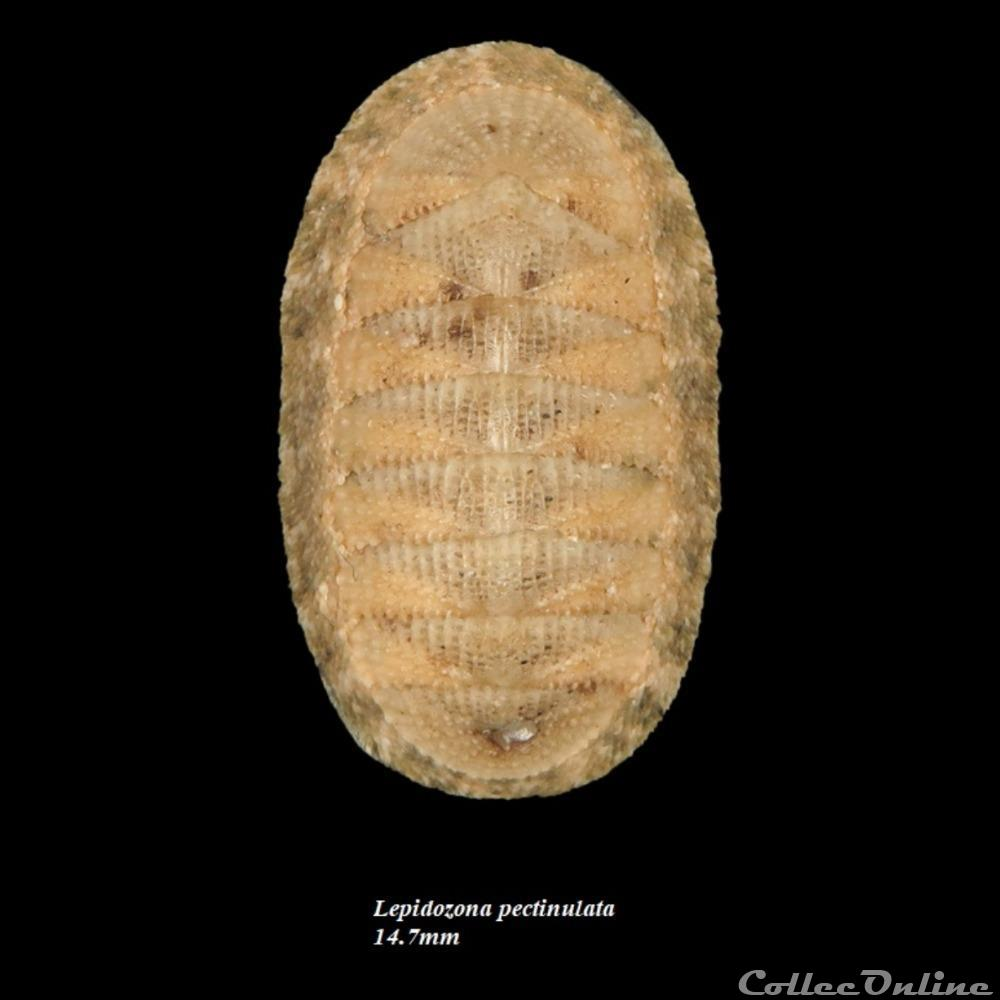 coquillage fossile polyplacophora lepidozona pectinulata 14 7mm