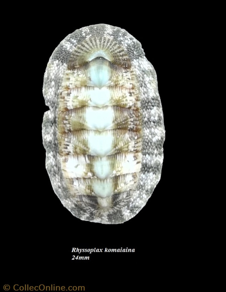 coquillage fossile polyplacophora rhyssoplax komaiana 24mm