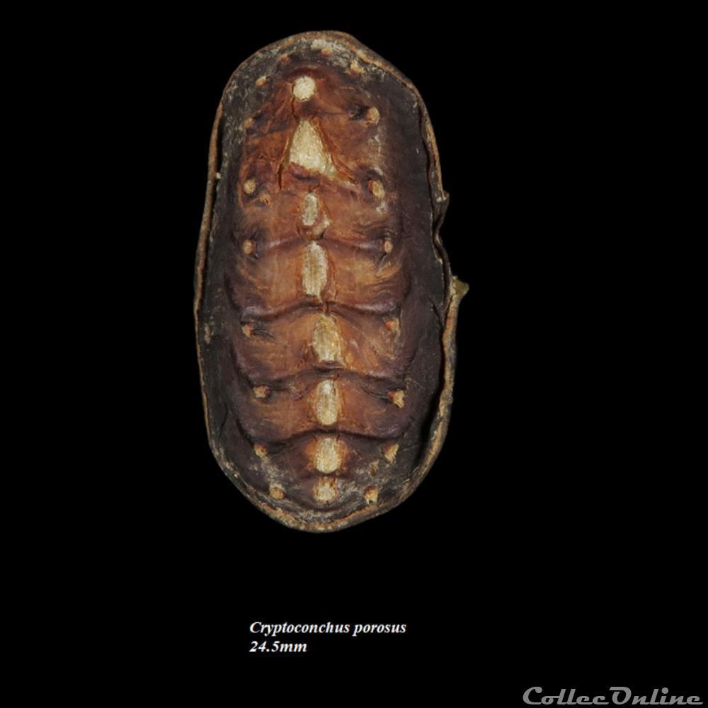 coquillage fossile polyplacophora cryptoconchus porosus 24 5mm