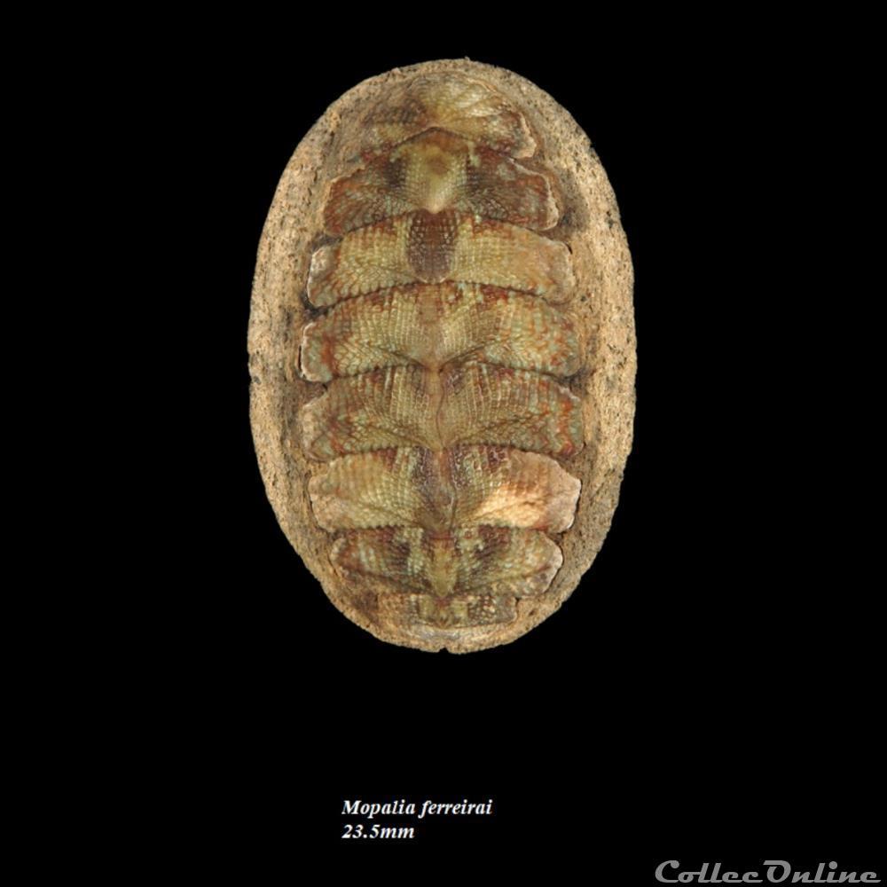 coquillage fossile polyplacophora mopalia ferreirai 23 5mm