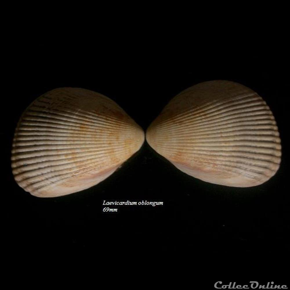 coquillage fossile bivalvium laevicardium oblongum 69mm
