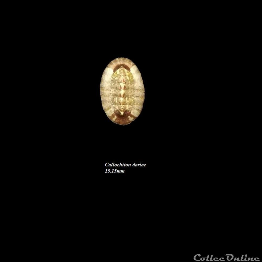 coquillage fossile polyplacophora callochiton doriae 15 15mm