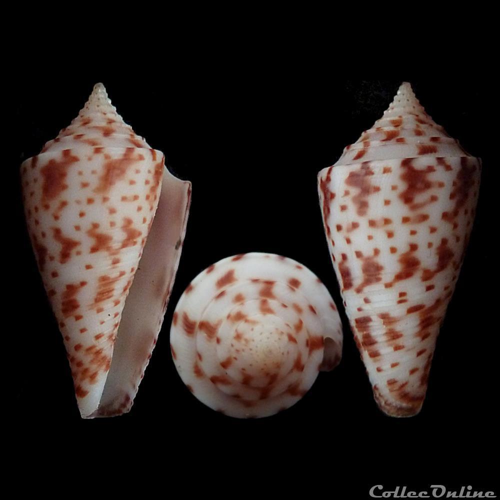 coquillage fossile gastropodum conasprella gattegnoi poppe tagaro 2017
