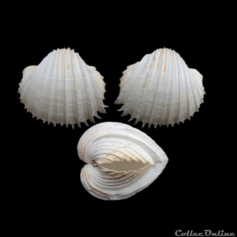coquillage fossile bivalvium cardiidae cardium costatum linne 1758
