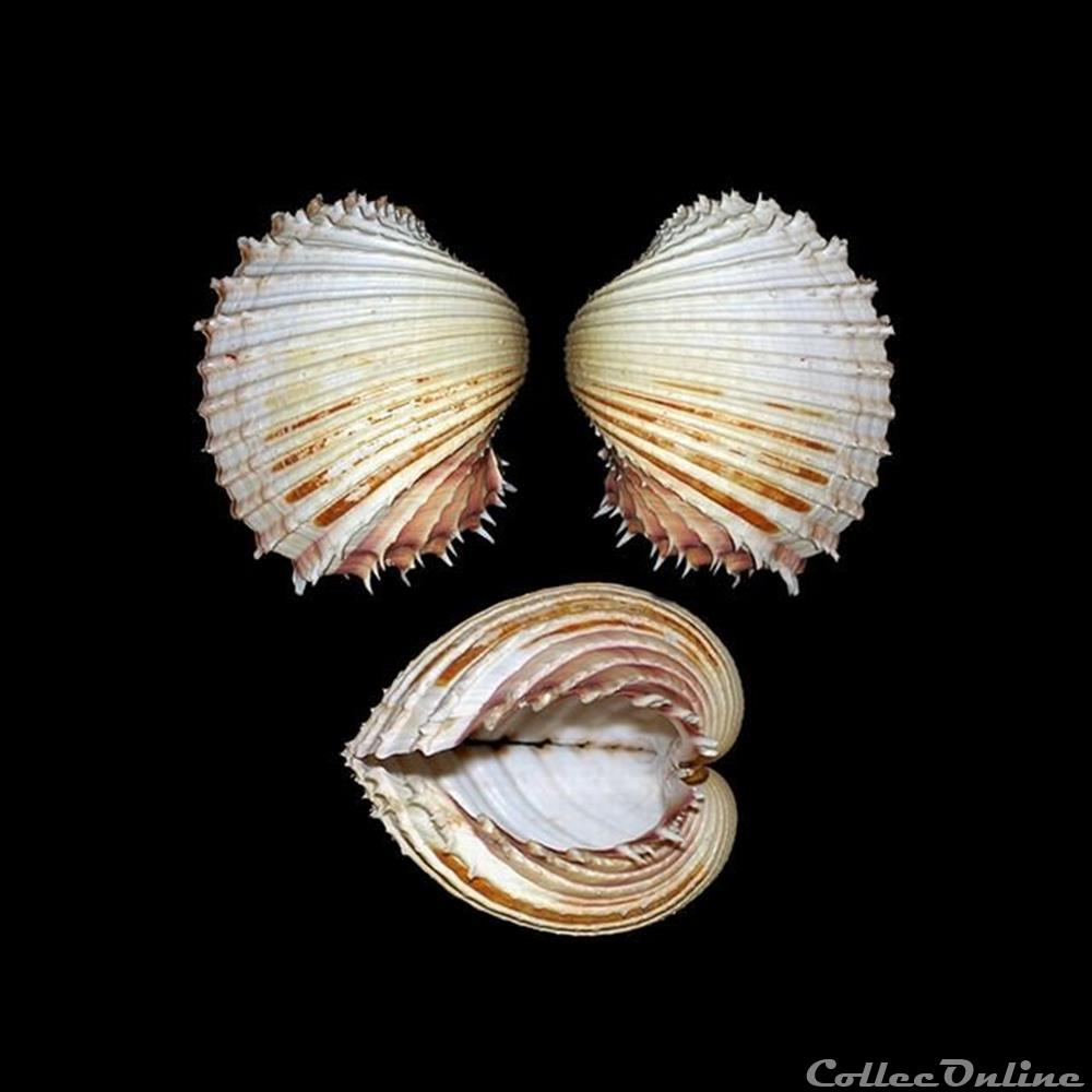 coquillage fossile bivalvium cardiidae procardium indicum lamarck 1819
