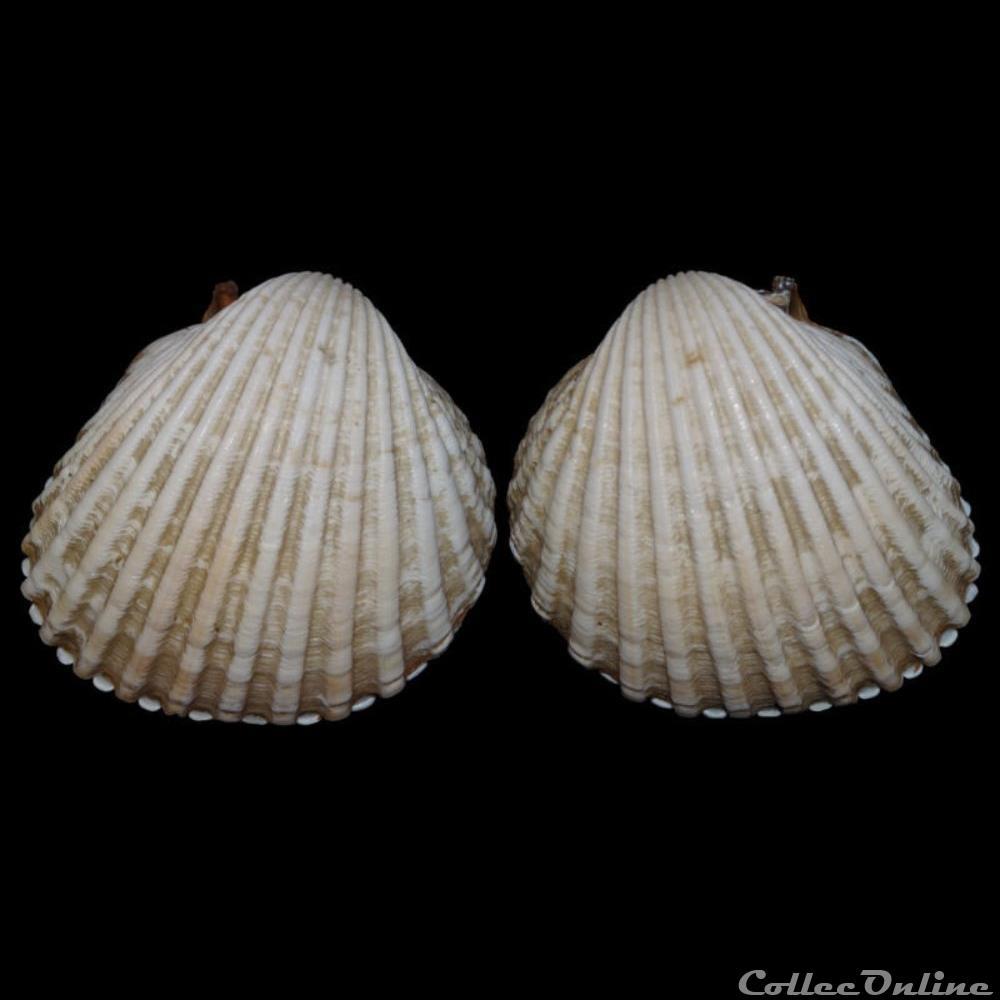 coquillage fossile bivalvium cardiidae acanthocardia tuberculata linne 1758