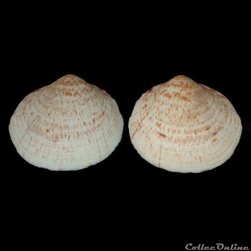 coquillage fossile bivalvium glycymerididae glycymeris glycymeris linne 1758