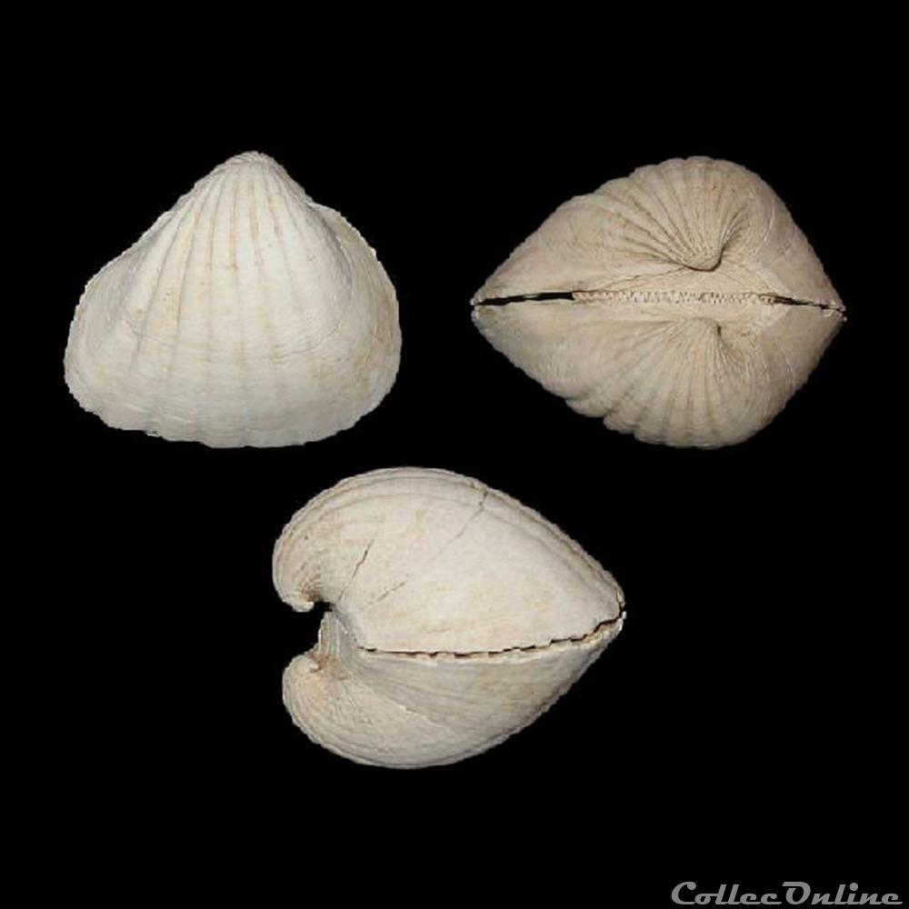 coquillage fossile bivalvium arcidae senilia senilis linne 1758