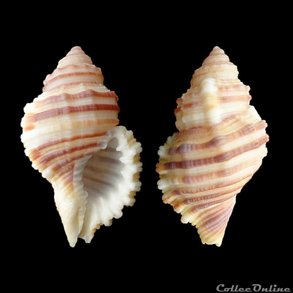 coquillage fossile gastropodum cymatiidae monoplex tranquebaricus lamarck 1816