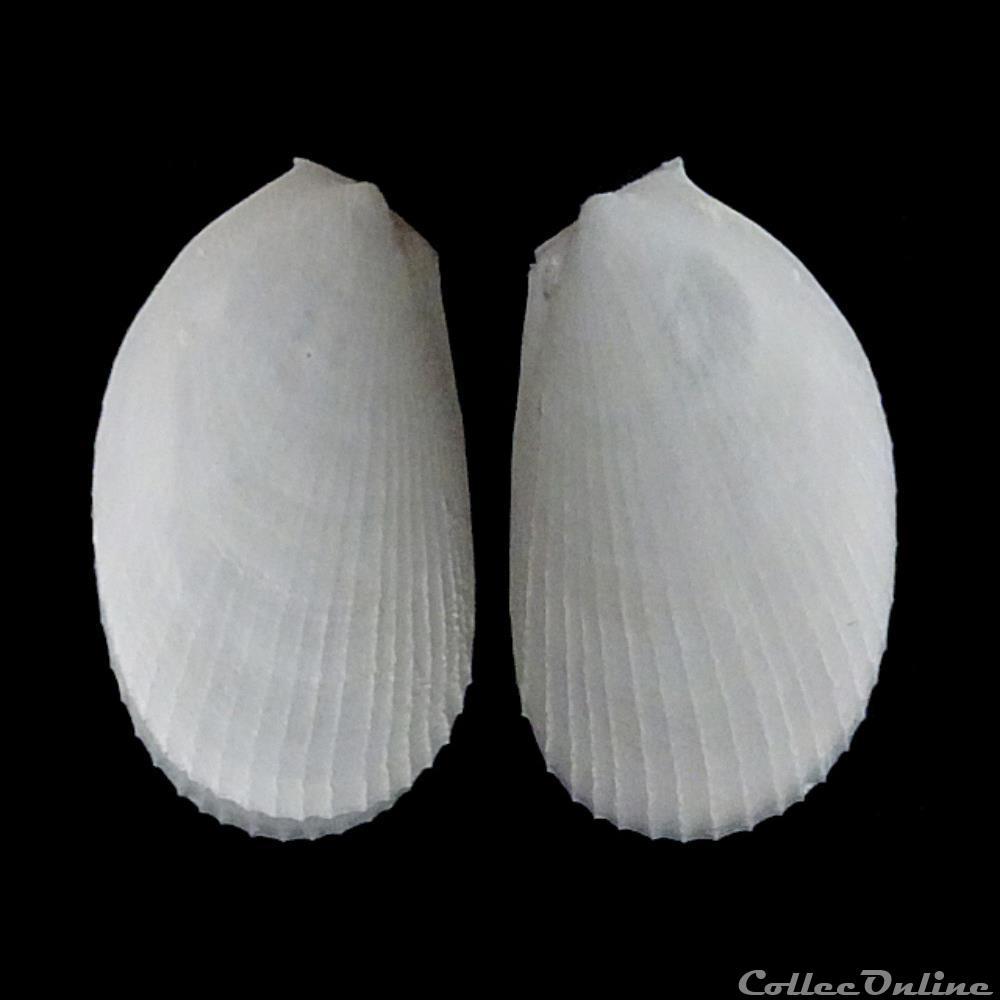 coquillage fossile bivalvium limidae limaria hians gmelin 1791