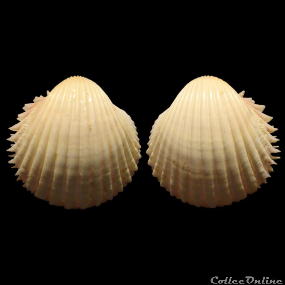 coquillage fossile bivalvium cardiidae bucardium ringens bruguiere 1789