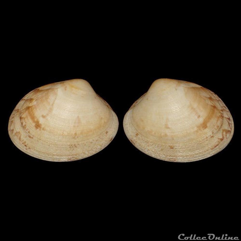 coquillage fossile bivalvium veneridae polititapes aureus gmelin 1791