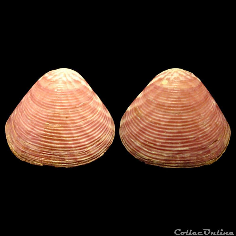coquillage fossile bivalvium crassatellidae crassatina triquetra reeve 1842