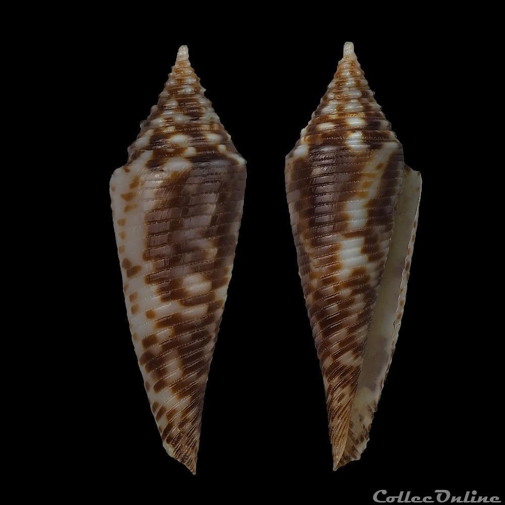 coquillage fossile gastropodum fusiconus fusiconus hopwoodi j r le b tomlin 1936