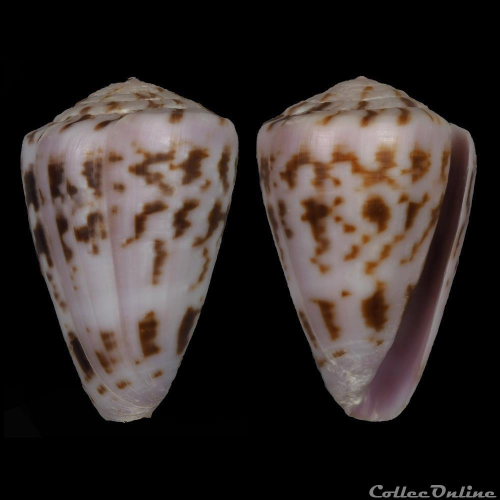 coquillage fossile gastropodum kalloconus trovaoconus atlanticoselvagem afonso tenorio 2004