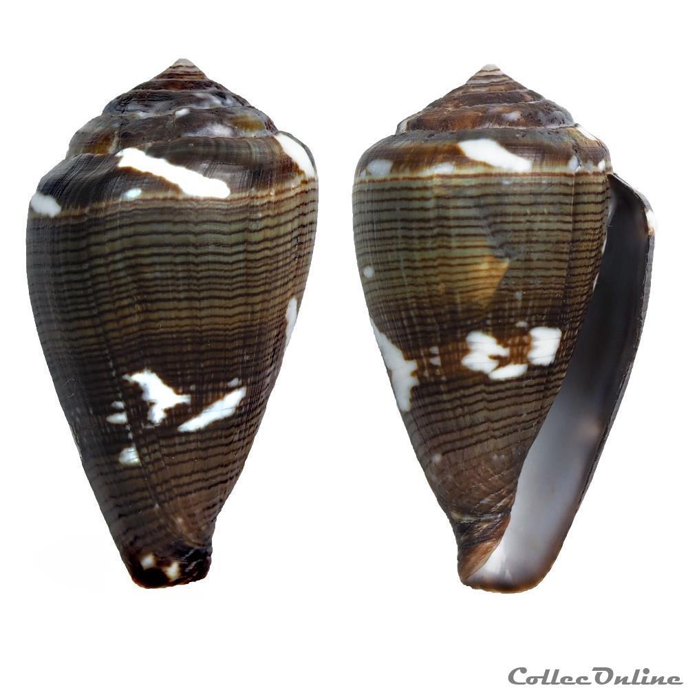coquillage fossile gastropodum lautoconus africonus irregularis sowerby ii 1857
