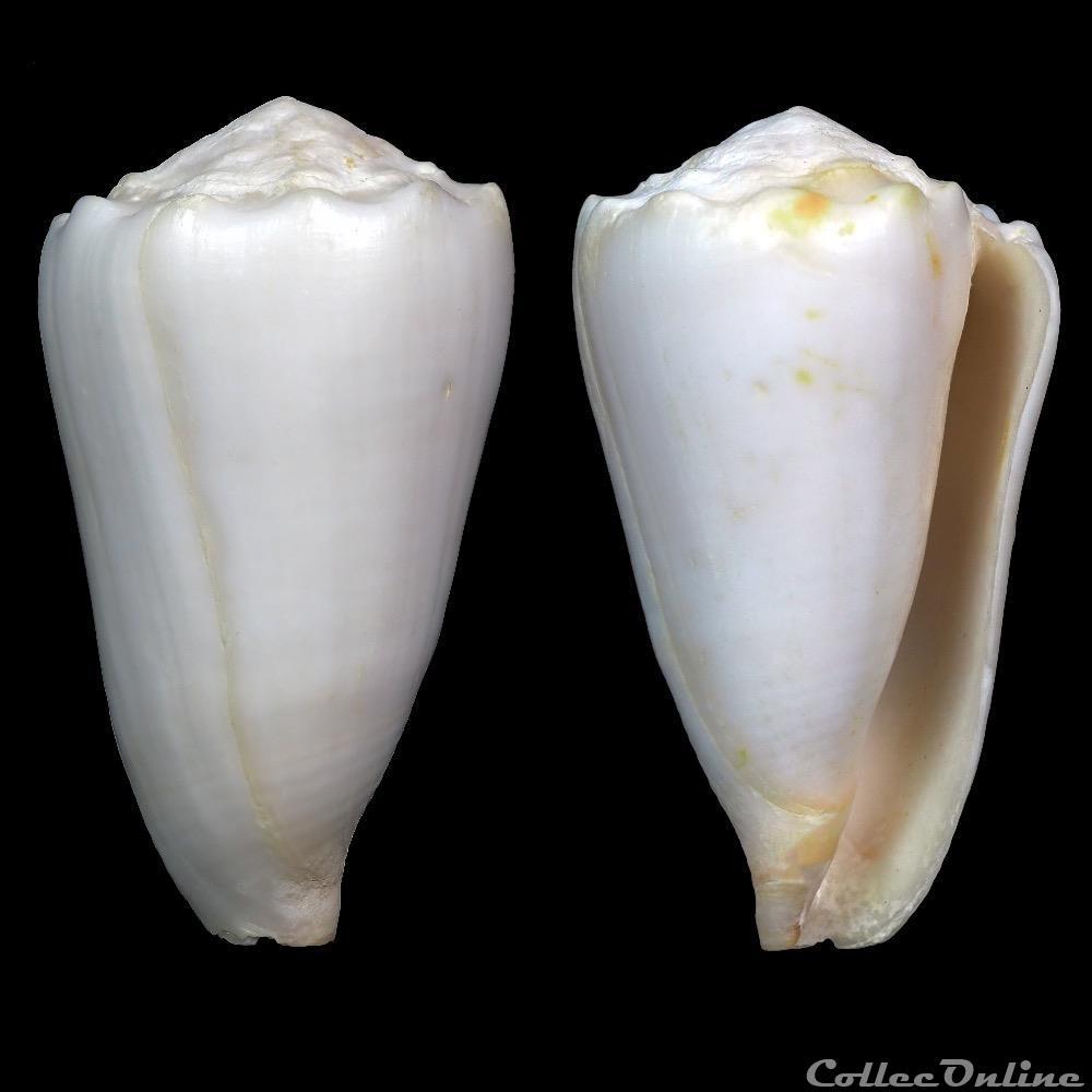 coquillage fossile gastropodum conus crosseanus bernardi 1861