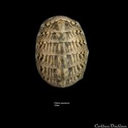 Chiton squamosus 32mm