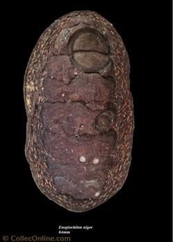 Enoplochiton niger 84mm