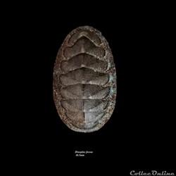 Dinoplax fossus 46.5mm
