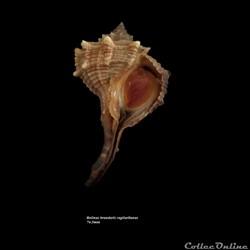 Bolinus brandaris cagliaritanus 74.5mm