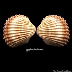 Acanthocardia tuberculata 60mm