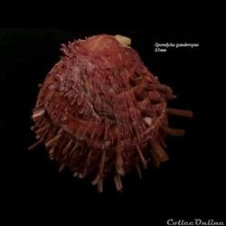 Spondylus gaederopus 85mm