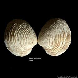 Venus verruscosa 31mm
