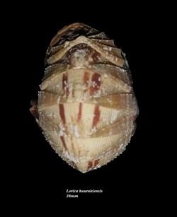 Lorica haurakiensis 38mm