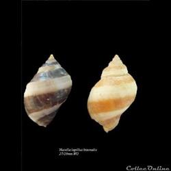 Nucella lapillus bizonalis 27-29mm WO
