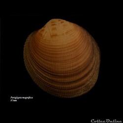 Periglypta magnifica 97mm