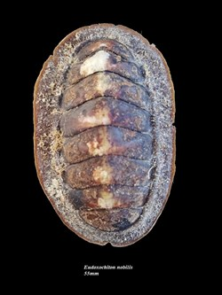 Eudoxochiton nobilis 55mm