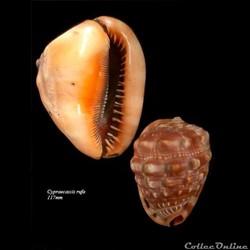 Cypraeacassis rufa 117mm