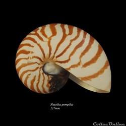 Nautilus pompilus 117mm