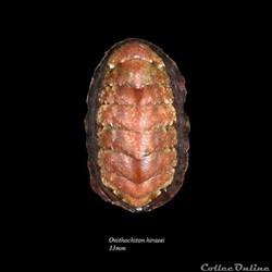 Onithochiton hirasei 33mm
