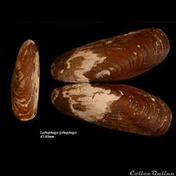 Lythophaga lythophaga 45-69mm