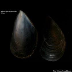 Mytilus galloprovencialis 69mm