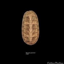 Rhyssoplax janeirensis 15mm