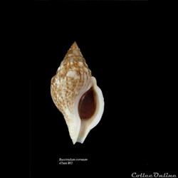 Buccinulum corneum 47mm WO
