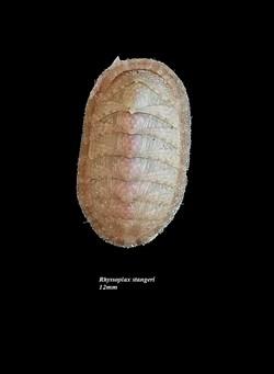 Rhyssoplax stangeri 12mm