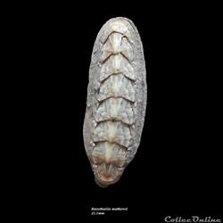 Bassethullia matthewsi 21.1mm