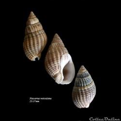 Nassarius reticulatus 23-37mm