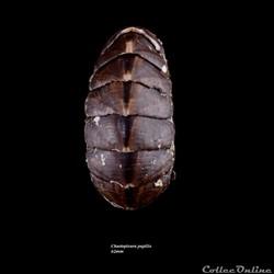 Chaetopleura papilio 62mm