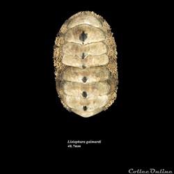 Liolophura gaimardi 48.7mm