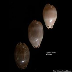 Cypraea lurida 42-53mm